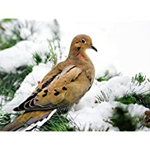 Mourning Dove, Winter Bird Art Wall Decor, Fine Art Photography, Nature Pictures, Wildlife Photo Prints, Christmas Gifts