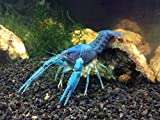 1 JUVENILE Electric Blue Crayfish/Freshwater Lobster (1/2 inch to 1+ Inch) by Aquatic Arts