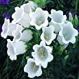 Outsidepride Canterbury Bells White - 5000 Seeds