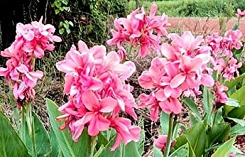 thai Pink lily