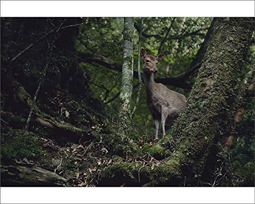 Media Storehouse 10x8 Print of Yaku sika Deer (Cervus Nippon yakushimae) (18990845)