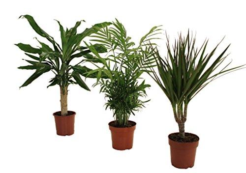 Pflanzenservice 891733 Palmen-Set, Dracena fragans, Zimmerpalme, Marginata