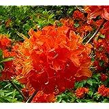 Mandarin Lights Orange Deciduous Azalea - Live Plant - Starter Plug (LG)