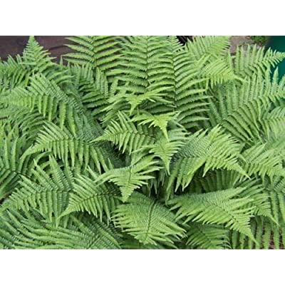 5 Bare Root Marginal Wood Fern Dryopteris Marginalis Bare Root Plant for Garden #RR11 : Garden & Outdoor