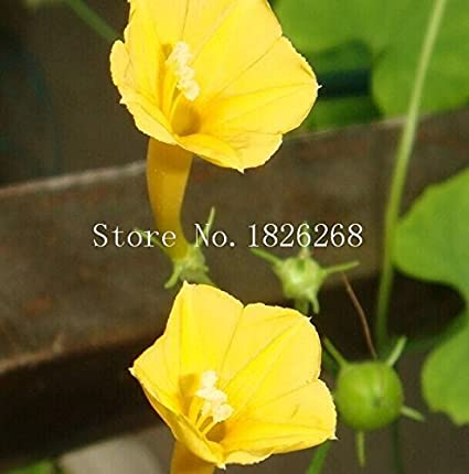 Amazon com : Flower seeds Yellow Morning Glory Flower Seeds