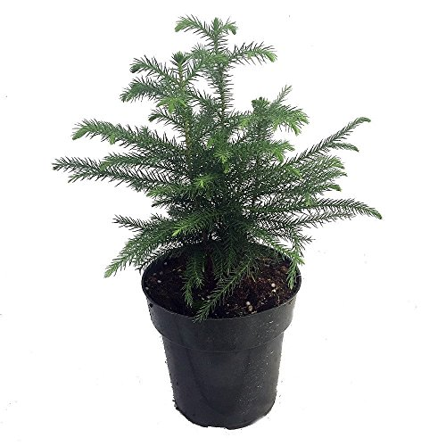 "Norfolk Island Pine - The Indoor Christmas Tree - 6"" Pot"