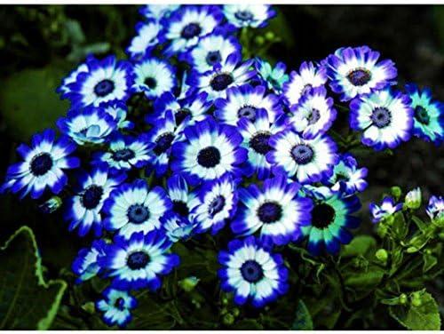 Ncient 20pcs/50pcs Semillas Margarita Azul, Blue Cineraria Semillas Crisantemo Flores Raras de DIY Decoración Del Jardín Semillas de Plantas Bonsai para Maceta Jardín Balcon Interior y Exteriores: Amazon.es: Jardín