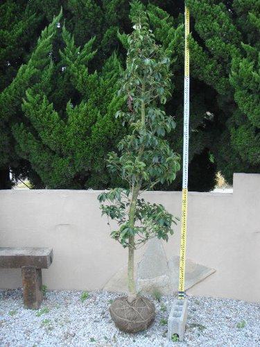 クロガネモチ 単木 樹高H:2500mm B002Z2N4VI