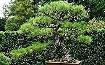 (PlenTree Chinese White Pine Pinus Armandii Ornamental Bonsai Tree, 10)