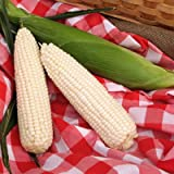 Sweet Corn SSW 2001MR F1 - Insect Guard Treated Vegetable Seeds - 10,000 Seeds
