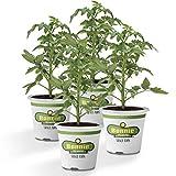 Bonnie Plants Cherokee Purple Heirloom Tomato (4 Pack) Live Plants