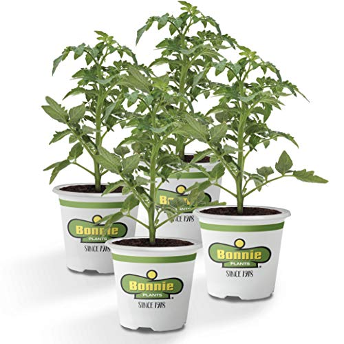 Bonnie Plants Cherokee Purple Heirloom Tomato (4 Pack) Live Plants by Bonnie Plants (Image #9)