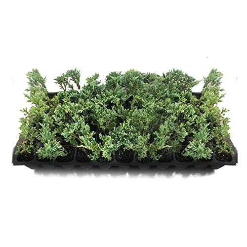 Sandys Nursery Online Juniper Blue Rug Wilton Ground Cover Tray 60 Starter Plants