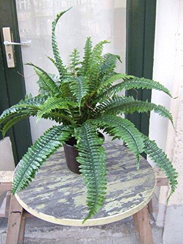 Farn mit unterschiedlichen Blättern,ca.70cm breit 60cm hoch getopft Top-Qualität