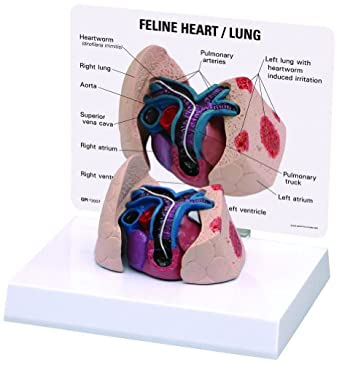 Amazon Felinecat Heart Lung Anatomical Model Industrial