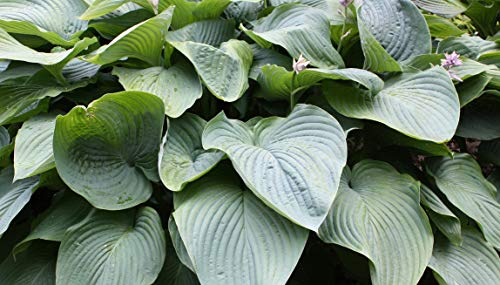 Empress Wu Hosta P.P. #20,774 - Healthy live potted plant - Perennial - Flower - Garden - Border - Ea. 1 Quart By Growers Solution