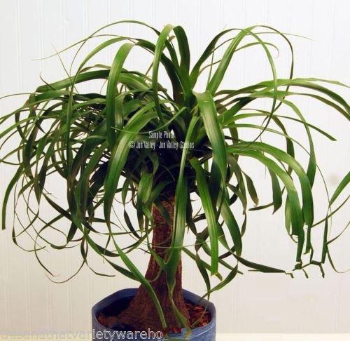 Ponytail Palm Seeds Succulent Houseplant Rock Garden Bonsai 10 Seeds ()