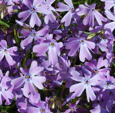Classy Groundcovers - Phlox 'Purple Beauty' Creeping Phlox, Moss Phlox {25 Pots - 3 1/2 in.}