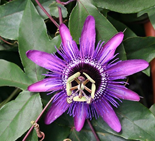 PASSIFLORA - HYBRID MONIKA FISCHER - PASSION FLOWER - LAV - 1 PLANT -QUART POT ()