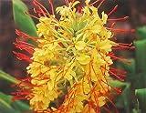 Hawaiian Yellow Kahili Ginger Plant Root ~ Grow Hawaii