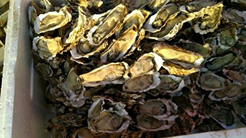 Dried seafood oyster meat 700 gram from South China Sea Nanhai