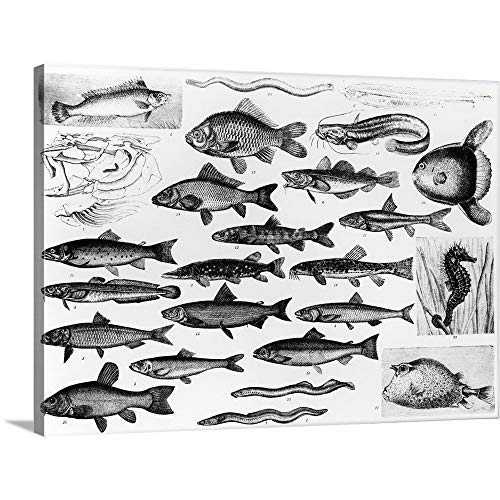 Osseous Fishes - GREATBIGCANVAS Gallery-Wrapped Canvas Entitled Ichthyology - Osseous Fishes and Marisipobranchs by English School 48