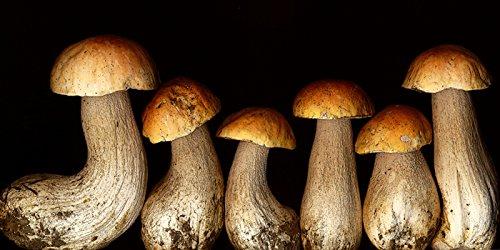 Boletus Edulus Wild Mushroom By M. Klein Art Print, Poster or Canvas
