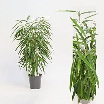 Inter Flowers Ficus Binn Alii 100 Cm Hoch Zimmerpflanze