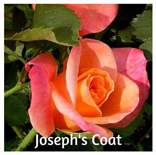 - 10 Joseph's Coat Hybrid Climbing Rose Seeds