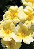 3 Gallon - Sunny Knock Out Rose - Fragrant Yellow Blooming Shrub - Rose Bush - Live Plants