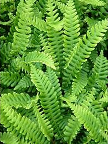 Blechnum Spicant Fern Plant in a 13cm Pot. Deer Fern Perfect Plants