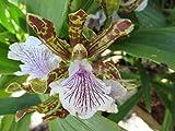 Zygopetalum maculatum: Orchid