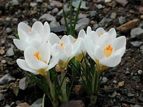Amazon 25 white crocus saffron bulbshappy joy flowersbonsai 25 white crocus saffron bulbshappy joy flowersbonsai pot plant for home garden mightylinksfo