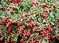 Fresh Vaccinium Vitis-IDAEA 'Koralle' - Lingonberry - Starter Plant
