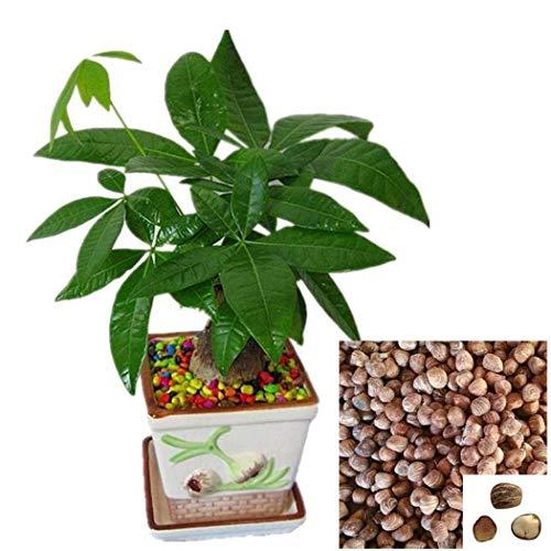 Qenci Seeds - 2pcs/ Bag Mini Pachira Macrocarpa Seeds Money Tree Bonsai Indoor Plants Decor ()