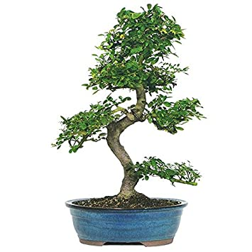 Dallas Bonsai Gardenu0027s Chinese Elm   Large (Indoor / Outdoor) ZCE3