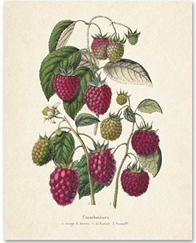 Raspberries Botanical Art Print - 11x14 Unframed Art Print - Great Kitchen and Wall (Raspberry Tag)
