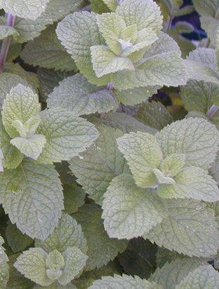 3 Apple Mint Krauter Pflanzen In 9 Cm Topfen Winterharte