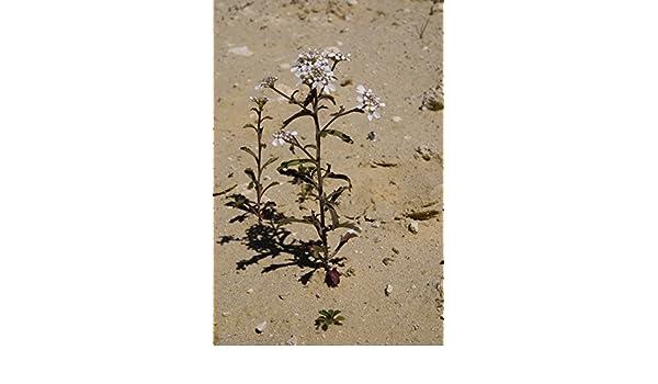 carraspique 250 Semillas de Iberis amara Ib/éride Asklepios-seeds/®