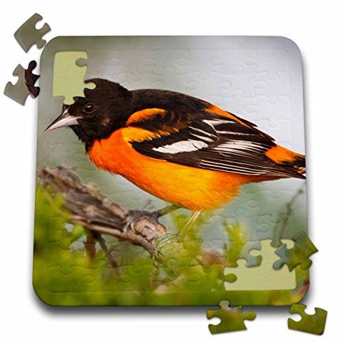 Baltimore Orioles Bird (Danita Delimont - Birds - Baltimore Oriole bird, South Padre Island, Texas, USA - US44 LDI0737 - Larry Ditto - 10x10 Inch Puzzle (pzl_146862_2))
