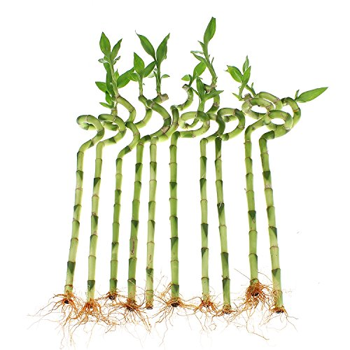 NW Wholesaler - 12'' Spiral Lucky Bamboo Bundle of 10 Stalks
