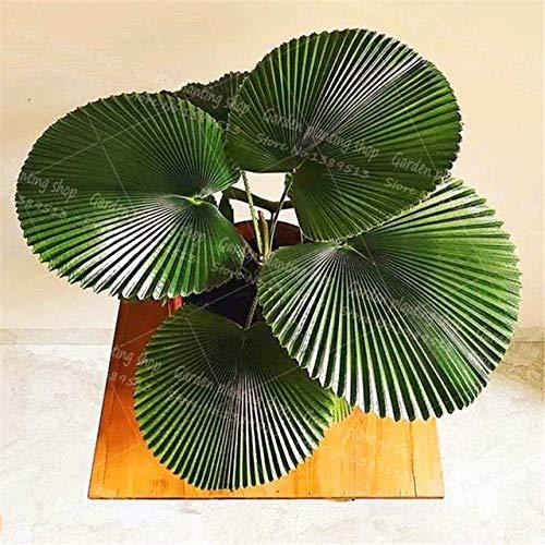 10Pcs/Bag Palm Bonsai Plant Perennial Purification Air Palm Tree Family Garden Potted Botanical Garden Forest Flower - (Color: 2)