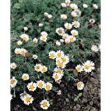 Anacyclus depressus Carpet Daisy 250 seeds