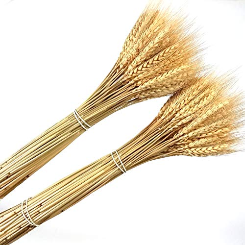 200 Pcs Dried Natural Wheat Bundle Flower Arrangement Home Table Wedding Party Centerpieces Decorative 22'' Tall by Dongliflower