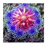 25 Purple Drosera Sundew Carnivorous Flower Seeds Bug Eating Exotic Spider
