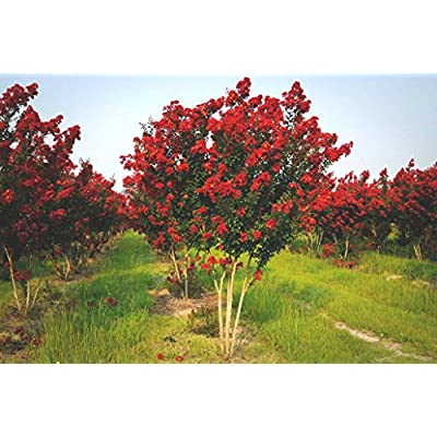 25 RED ROCKET CREPE MYRTLE SEEDS : Garden & Outdoor