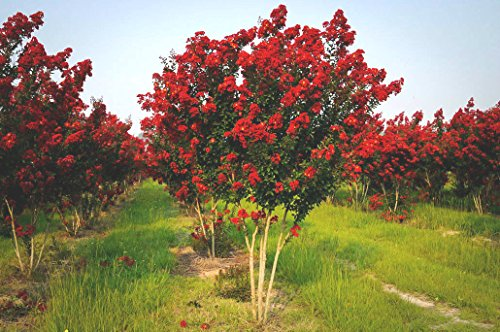25 RED ROCKET CREPE MYRTLE SEEDS - Lagerstroemia indica