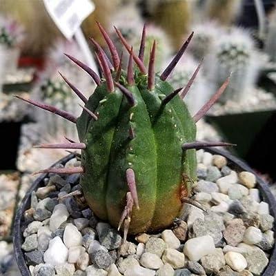 Euphorbia ferox : Garden & Outdoor