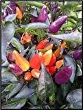 "(VHPO)~""EXPLOSIVE EMBERS"" HOT PEPPER~Seed!~~~Dwarf Ornamental!"