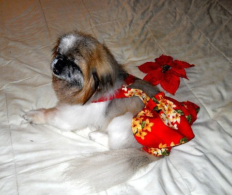 Joybies Red Aloha Piddke Skirt fir Female XLarge Dog ( 19-22 inches along Spine Collar to tail base )